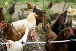 York_chickens_12-24_post