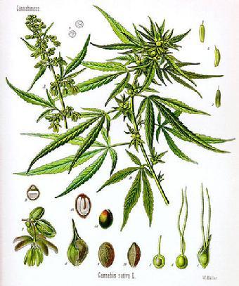 340_cannabis_sativa_-_medical_drawing