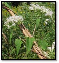 Asteraceae Mikania scandens climbing hempweed