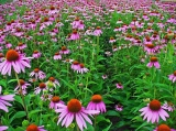 Echinacea of the family Asteraceae.