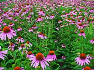 Echinacea purpurea (eastern purple coneflower or purple coneflower) is a species of flowering plant in the genus Echinacea of the family Asteraceae.
