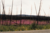 Common fireweed grows throughout most of Alaska. Its name comes from its ability to revegetate quickly after a fire.