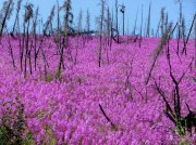 Collect your own fireweed seeds from the wild in August and September. Fireweed will usually not bloom until the second season.