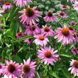 H075 Black Sampson Coneflower ( Echinacea )