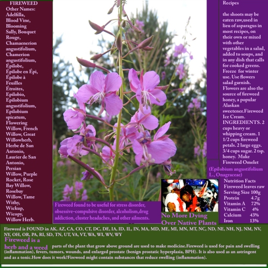 ireweed treating ailments save lives