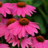 Purple Coneflower (Echinacea