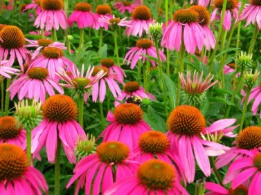 Purple Coneflower thrives in large groupings