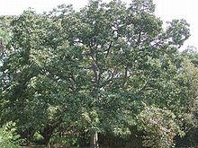 TRZ016 Bedda Nut Tree ( Terminalia bellirica )