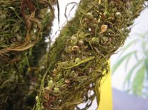 1920px-Hemp_bunch-dried_out_-seeds_close_up_PNr°0063