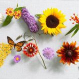 "Butterfly garden, Jun'11; Top from left: Purple coneflower Echinacea purpurea ''Magnus', Lantana L. Montevidensis ''Confetti', Butterfly bush Buddleija davidii 'Nanho purple', Sunflower Helianthus annuus 'Miss sunshine', Butterfly weed Asclepias buberosa; Lower from left: Yarrow Achillea millefolium 'Terra cotta', Michaelmas daisy Aster dumosus 'Sapphire', Blanket flower Gaillardia 'Frenzy', Pincushion flower Scabiosa columbaria ''Butterfly blue', Gloriosa daisy Rudbeckia hirta ""Moreno"", Lavender Lavandula stoechas 'Silver anouk"""