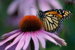 coneflower_butterfly_2270