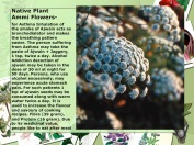 Native Plant Ammi Flowers-