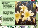 Native Plants Day Lilies for cancer