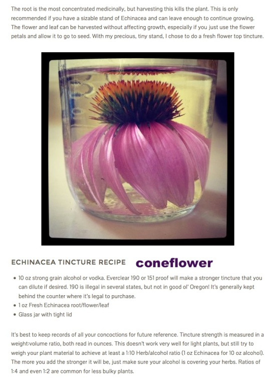 Cone Flower Echinacea Tincture Recipe