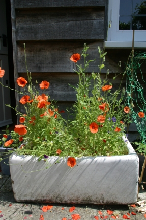 try california poppy -an old sink