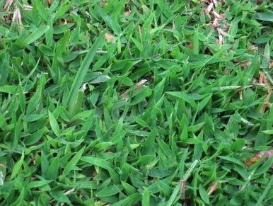 crabgrass1