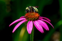 Purple+coneflower+(Echinacea+purpurea)+(2)